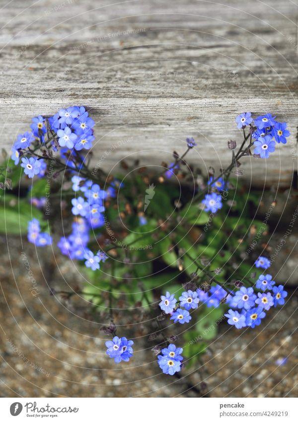 blauer montag violett Blume Blüte Vergißmeinnicht Pflanze Holz Stein Erinnerung blühen wachsen Nahaufnahme