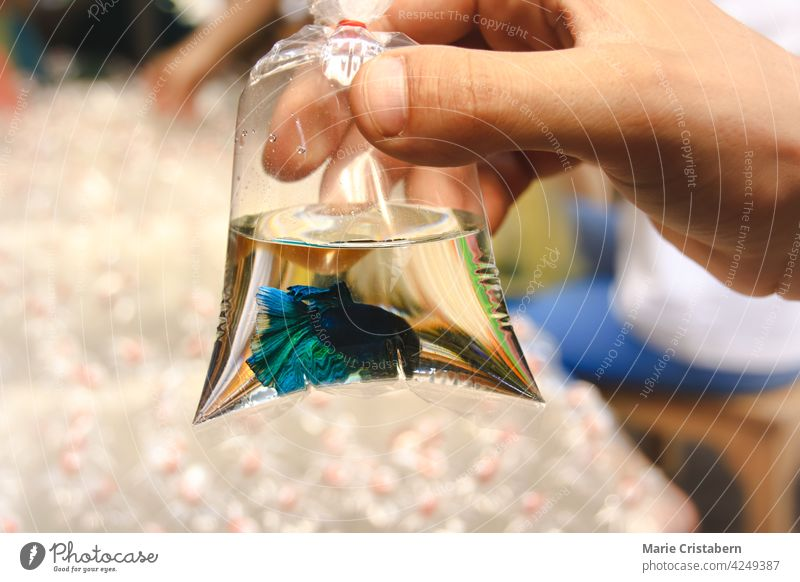 Hand holding a plastic bag container with a blue betta fish inside at Chatuchak Weekend Market in Bangkok, Thailand siamese fighting fish exotic pets hobby