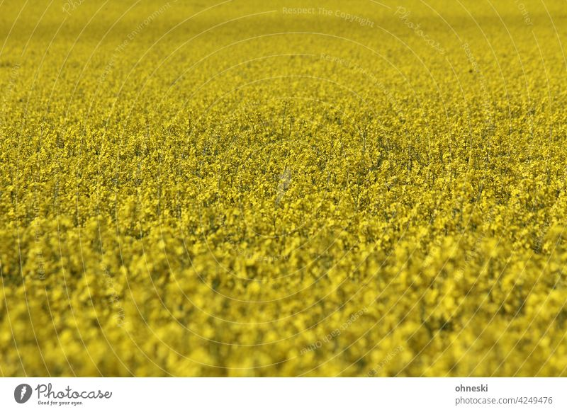 rapsfeld Canola Canola field Yellow Blossoming Summer Agriculture Environment Field Life Agricultural crop Growth Oilseed rape flower
