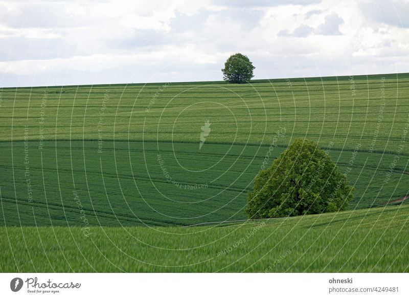 Trees in the cornfield Field Cornfield Grain field Landscape Green Spring Summer Agriculture Exterior shot Nutrition Growth Agricultural crop