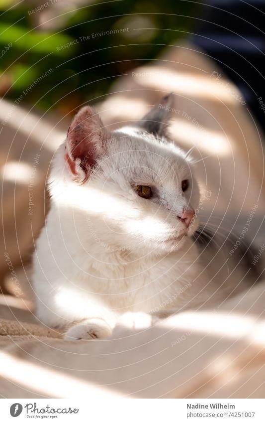 Minnie the cat Cat Pelt feline Fluffy pets pretty Cute Enchanting White Gray Light Visual spectacle Interior shot warm Sunlight