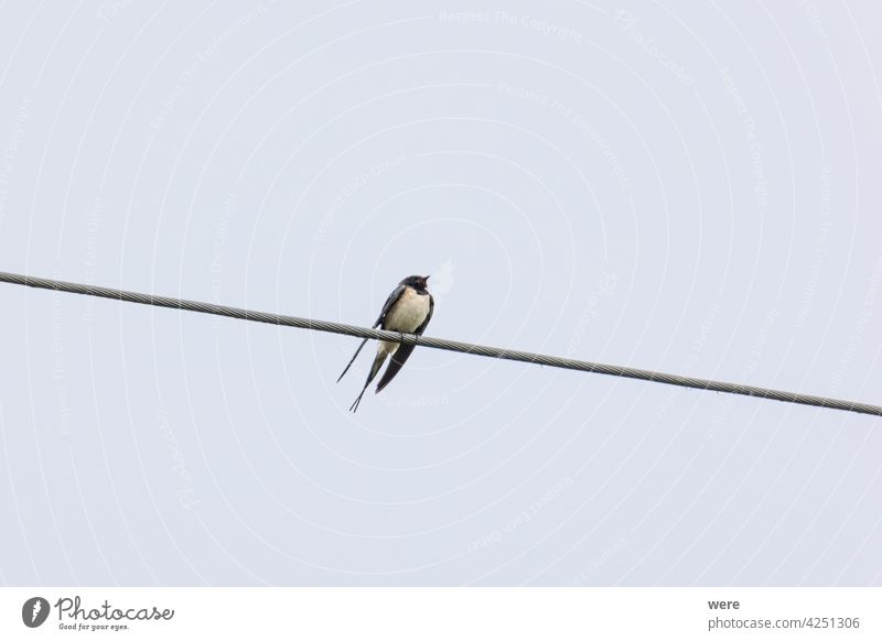 Barn swallow sitting on a power line in the rain Barn Swallow Hirundinidae Hirundo rustica Migratory bird animal animal in te wild animal themes copy space