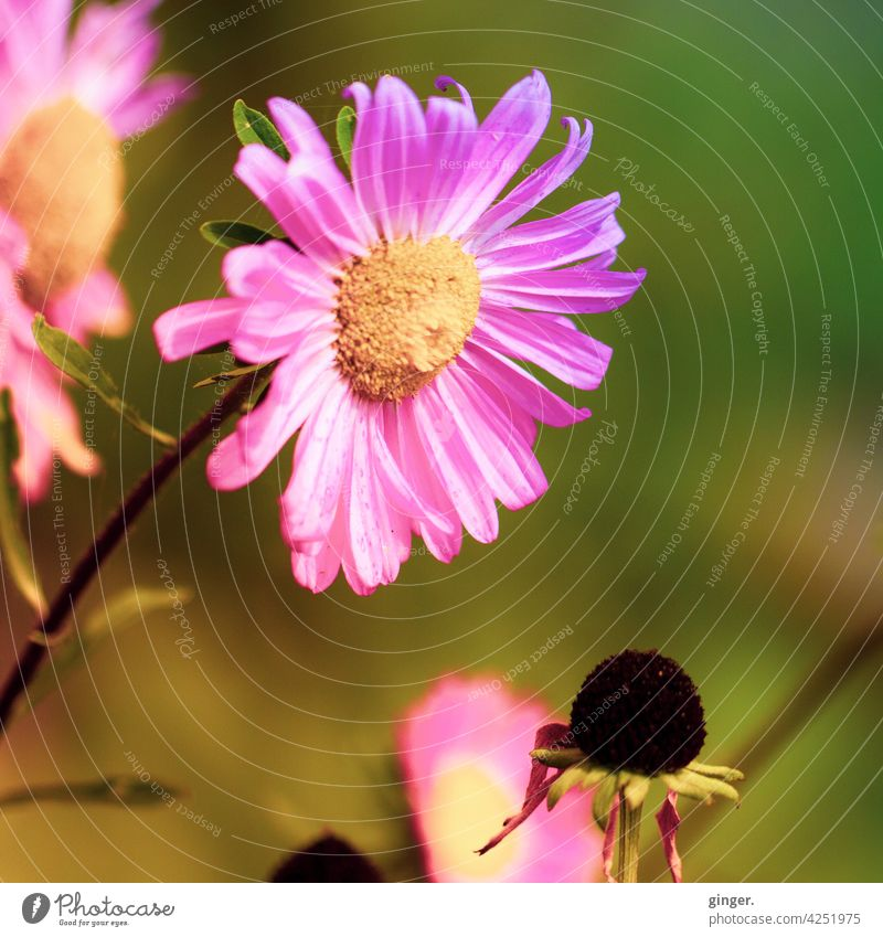 pink blossom Plant Flower Blossom Stalk Yellow Green Dark brown sunny Close-up Faded Stamp petals Beautiful weather pretty blossomed Limp Garden plants feathery