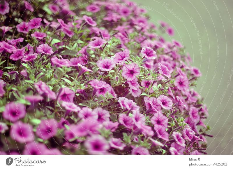 petit petunia Garden Plant Summer Flower Blossom Pot plant Balcony Blossoming Fragrance Violet Smelly Petunia Balcony plant Garden plants Overgrown Colour photo