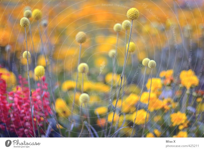 Bommelbunt Nature Plant Spring Summer Flower Blossom Garden Park Meadow Blossoming Fragrance Growth Multicoloured Yellow Tuft Colour photo Exterior shot Pattern