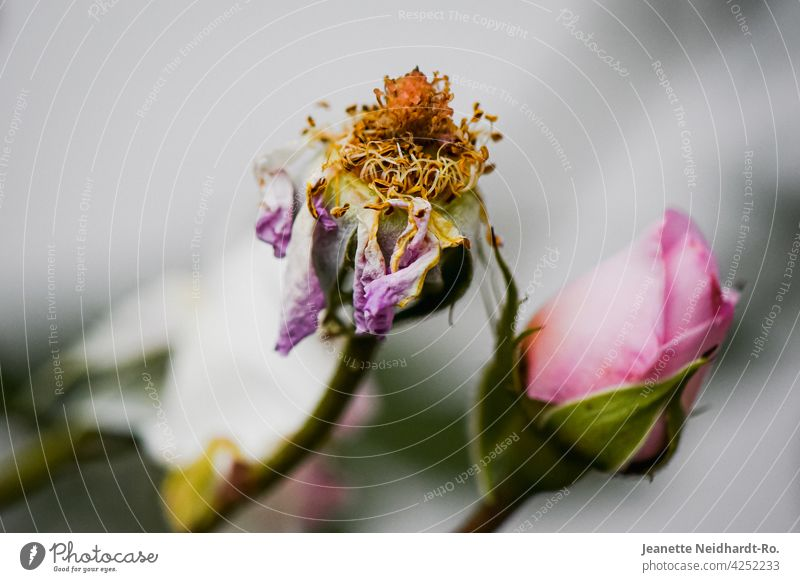 Rose withered - transience and beauty pink Faded fade withering Pink Flower garden flower Blossom Plant Nature Exterior shot Colour photo Garden Deserted