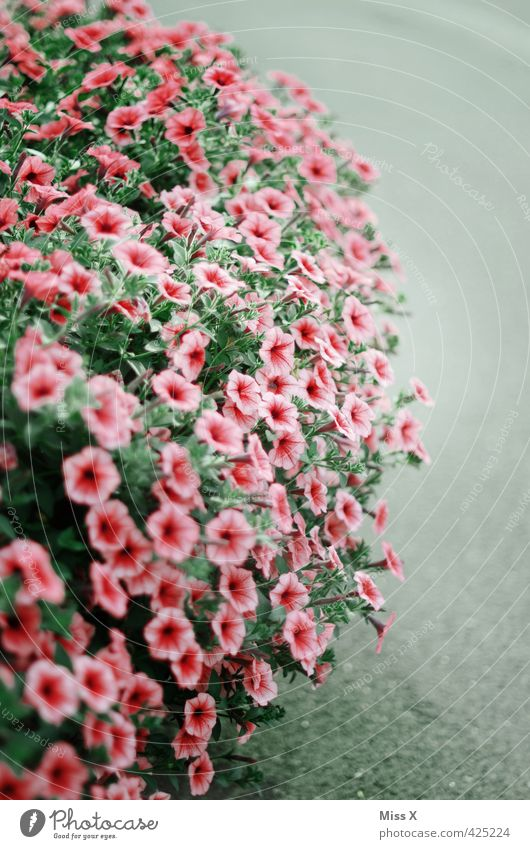 petunia Summer Flower Blossom Blossoming Fragrance Growth Overgrown Petunia Balcony plant Plant Colour photo Multicoloured Pattern Deserted Copy Space right