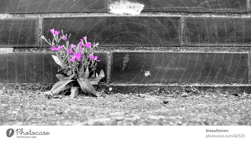Between concrete and asphalt... Flower Black White Wall (barrier) Blossom Violet Asphalt Brick Black & white photo coloured