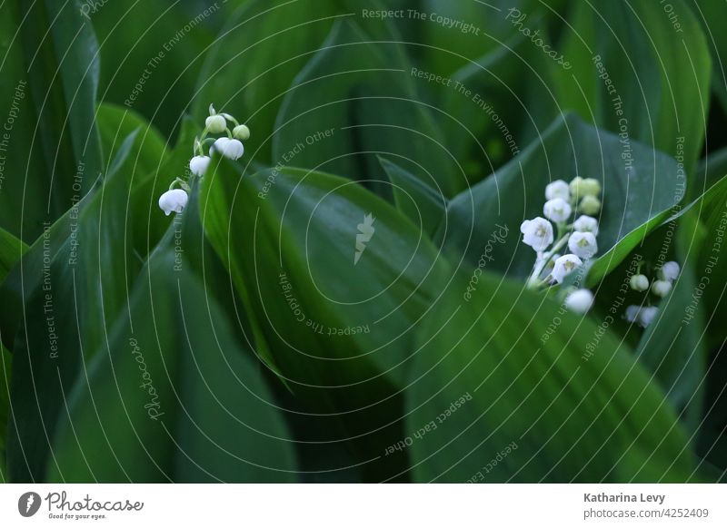lily of the valley Lily of the valley Spring leaves Green Foliage plant Forest venomously poisonous plant White Bud Low-key Woodground Flower Lily plants