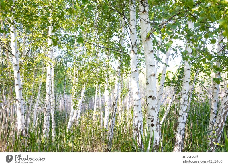 Birches by the lake trees deciduous trees Deciduous tree Lake Body of water birches Birch wood Clump of trees Nature Landscape Green grasses Idyll Summer Spring