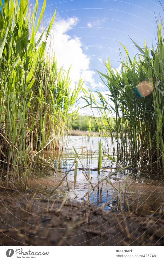 Reed by the lake reed Lake Worm's-eye view Water Waves Body of water frogs Habitat Idyll Ecological Blue sky Clouds Summer Weather Lensflare Green