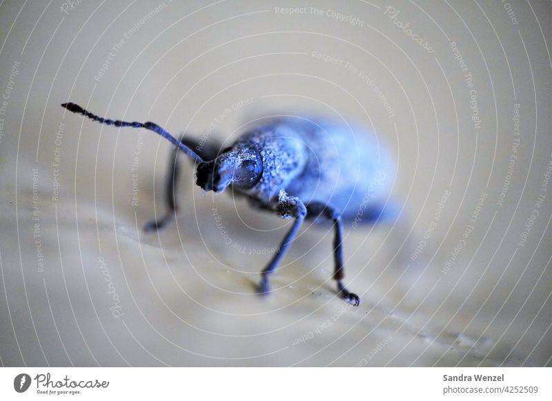 Black Borer pest Beetle infestation Plant pest insects Larvae