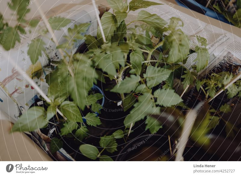 Vegetable plants in carton Plant Green Food Healthy Nutrition Vegetarian diet Fresh Delicious Healthy Eating naturally Tomato Chili Pepper Plantlet cultivation