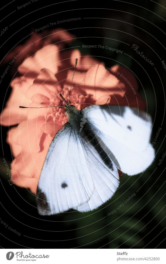 Small cabbage white butterfly in light and shade Butterfly small cabbage white butterfly Whiting butterflies white wings butterfly wings Grand piano Romance