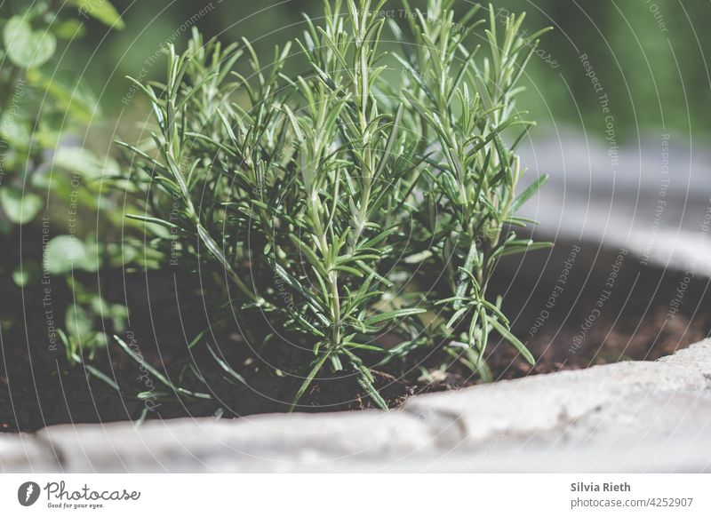 Rosemary plant in herb bed Rosemary officinalis Herbs and spices Plant Green Food Fresh kitchen herbs Nature naturally Garden Ingredients Mediterranean