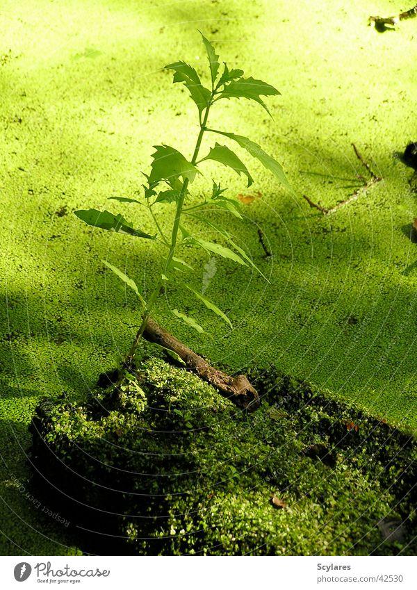 Green Plant Virgin forest Moss Pond Bog Water lentil