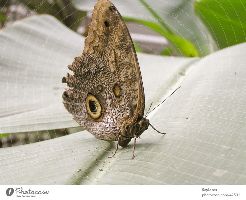 Large Insect Butterfly Virgin forest Fascinating Flying insect