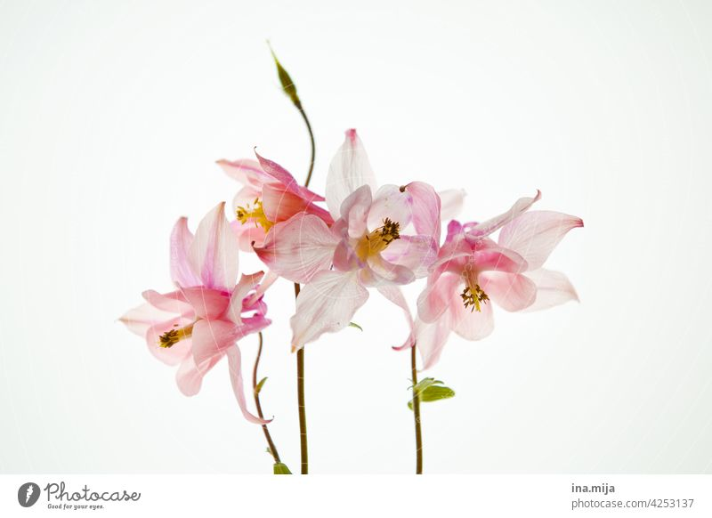 spring flower fragrances Simple flora and fauna pretty Wellness simplicity floral dream minimalism Minimalistic Colour Dreamily Elegant blooming spring flowers