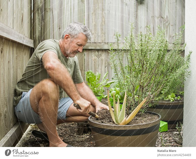 Senior man cuts rosemary in courtyard. Home gardening, herbs and plants in garden nature watering leaf one man only Mature Adult spring 50-59 years fence male