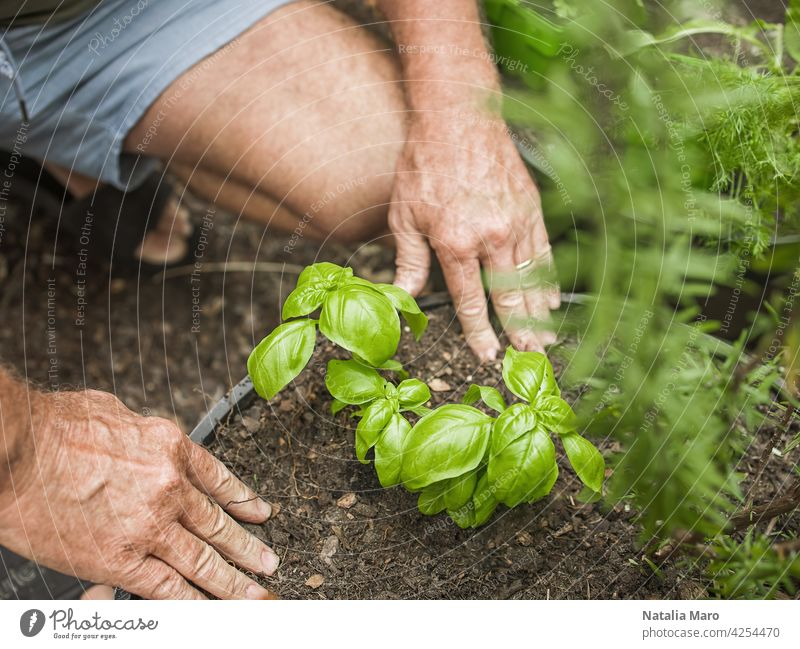 Senior man cuts rosemary in courtyard. Home gardening, herbs and plants in garden dill nature watering leaf basil one man only Mature Adult aloe vera spring