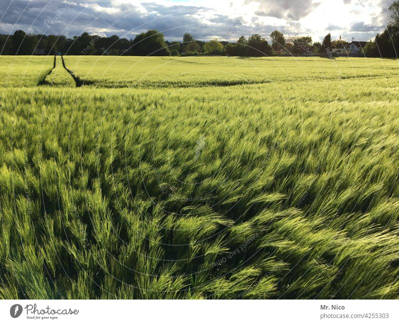 wheat field Grain Spring Field Agricultural crop Fresh naturally Green Wheatfield Tractor track Tracks Nutrition Agriculture Cornfield Landscape rich green