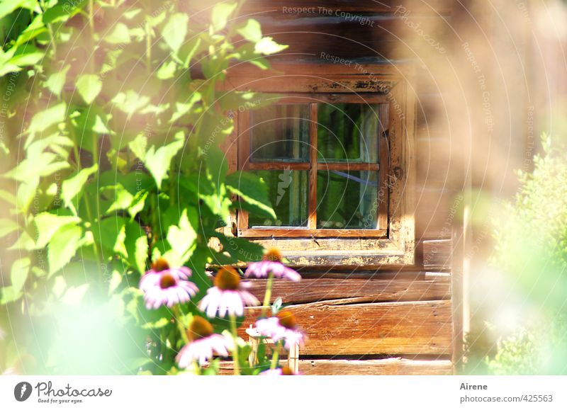 Green Plant Summer Flower Leaf House (Residential Structure) Window Happy Natural Garden Brown Pink Idyll Contentment Beautiful weather Esthetic