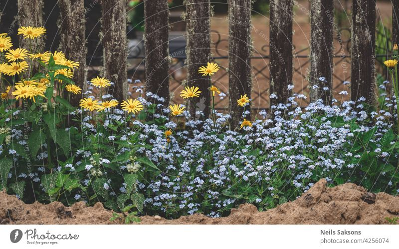 small colorful garden outside the graveyard fence. Meadow flowers blooming near cemetery stone forget me not daisy yellow blue forget-me-not flower romantic
