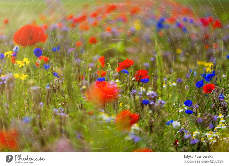 Beautiful summer wildflower meadow field poppy red nature poppies flowers spring green landscape grass bloom blossom garden plant rural blue beauty countryside