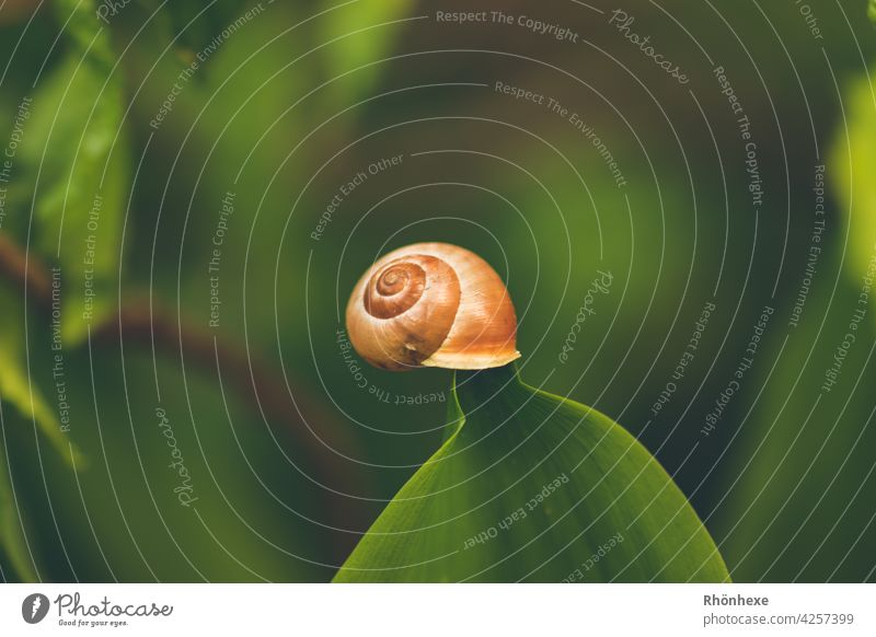A small snail clings to a lily of the valley leaf Crumpet Snail shell Animal Close-up Nature Macro (Extreme close-up) Exterior shot Colour photo Detail Plant