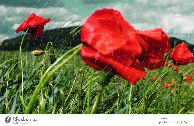 Poppy in the wind Meadow Flower meadow Clouds Sky Wind
