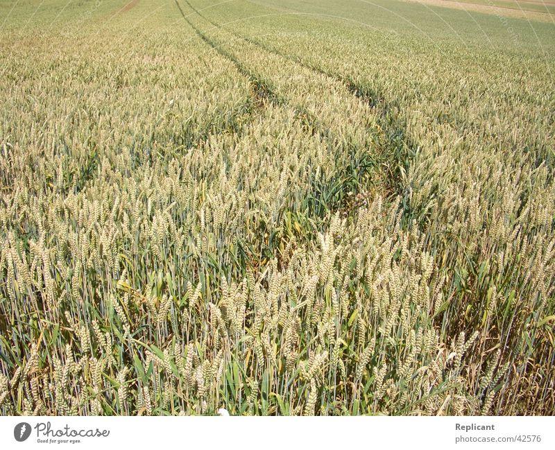 cornfield Cornfield Field Summer Spring Nature Grain Harvest Organic produce