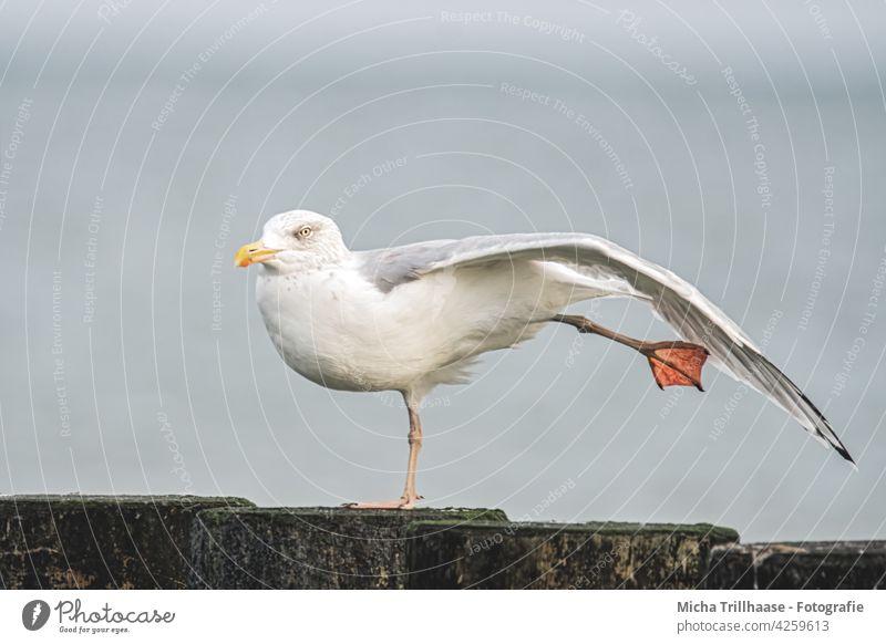 Herring Gull Stretches and Stretches Seagull Silvery gull Larus argentatus Bird Animal Baltic Sea Head Beak Eyes Grand piano feathers plumage Legs elongate