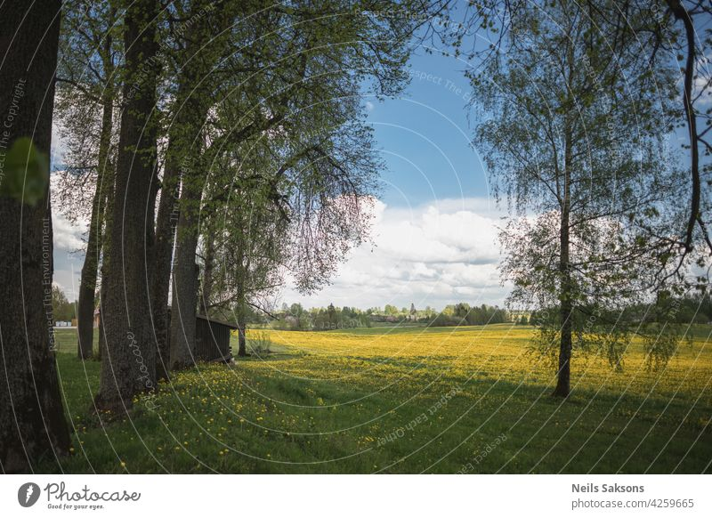 dandelion field, tree alley, cloudy blue sky, spring day agriculture background beautiful beauty bloom blossom blow bright closeup clouds colorful countryside