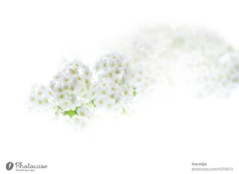 White flowers Spring Delicate blossom Fragrance fragrant blossoms pretty Garden Nature Plant Blossom Flower Summer Environment beautifully Deserted Colour Pure