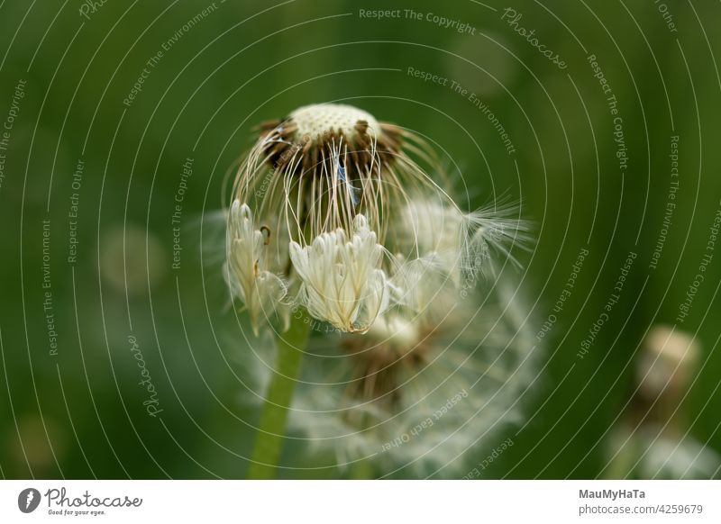 dandelion with scattered seeds Dandelion field Nature Plant Flower Meadow Spring Green Grass Colour photo Wild plant Exterior shot Day Close-up Garden White