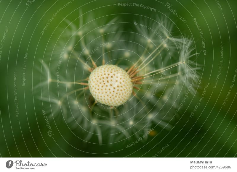 dandelion with scattered seeds Dandelion macro photography Nature Plant Close-up Detail Flower Colour photo Wild plant Macro (Extreme close-up) Green Spring