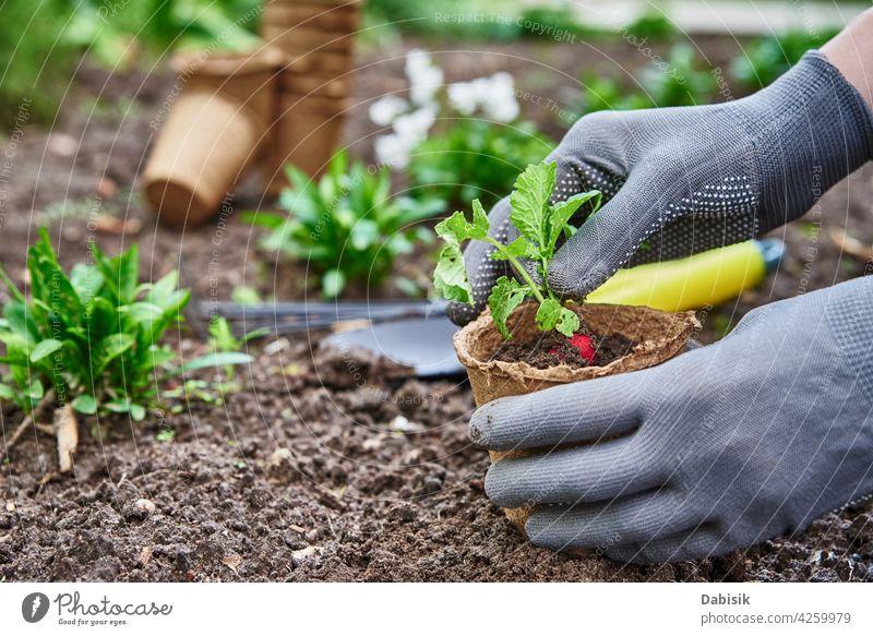 Gardener hands picking and planting vegetable plant in the garden gardening gardener soil organic agriculture outdoor farmer lettuce product nutrition green