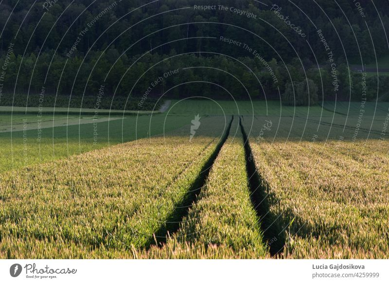 Agricultural field with traces from a two-track vehicle that meet in the perspective. In the background there is mixed forest. agricultural agricultural field