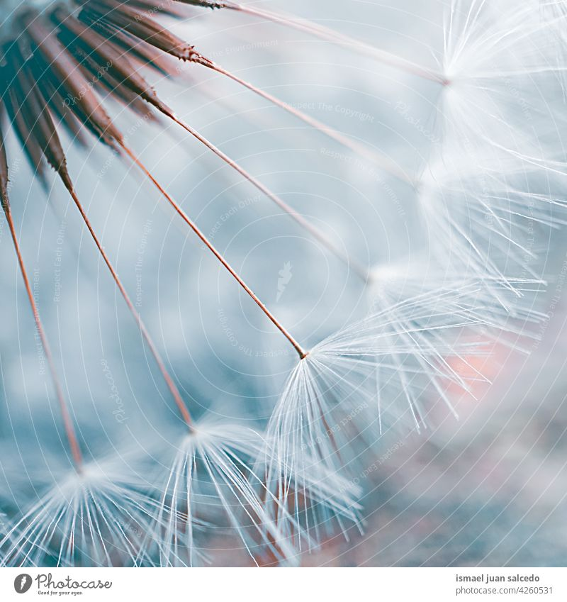 romantic dandelion flower seed in springtime plant white blue floral garden nature natural beautiful decorative decoration abstract textured soft softness