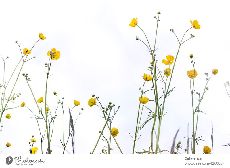 ranunculus Nature flora Plant Flower Weed Crowfoot Crowfoot plants buttercup Meadow flower Blossom petals Leaf handle meadow sky Spring Day daylight Yellow