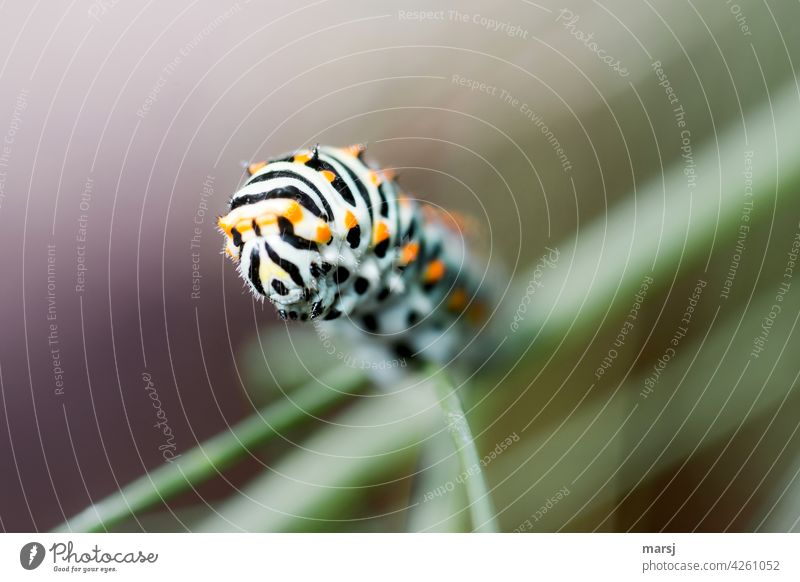 Carrot caterpillar on the advance. Papilio machaon Caterpillar Swallowtail 1 Wild animal Animal To feed Exceptional Authentic Striped carrot caterpillar Small