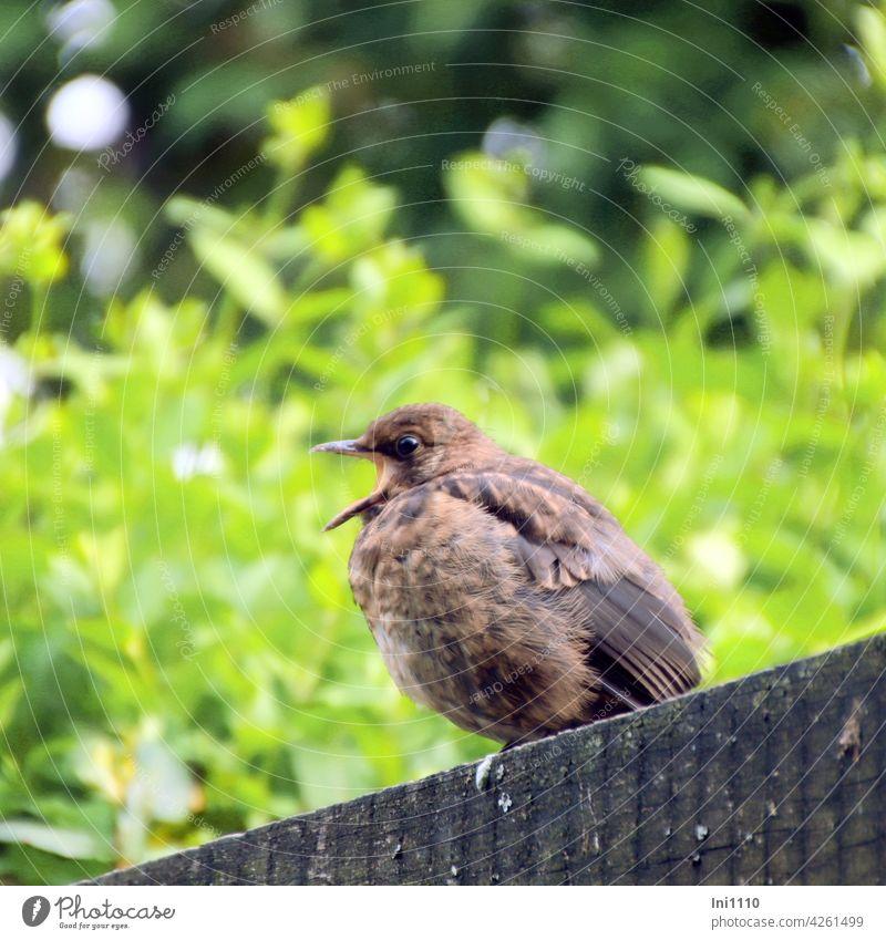 Young bird with wide open beak sits on the pergola garden bird Blackbird Throstle Bird species Songbirds plumage Beak rearing hunger shout food Feeding Garden