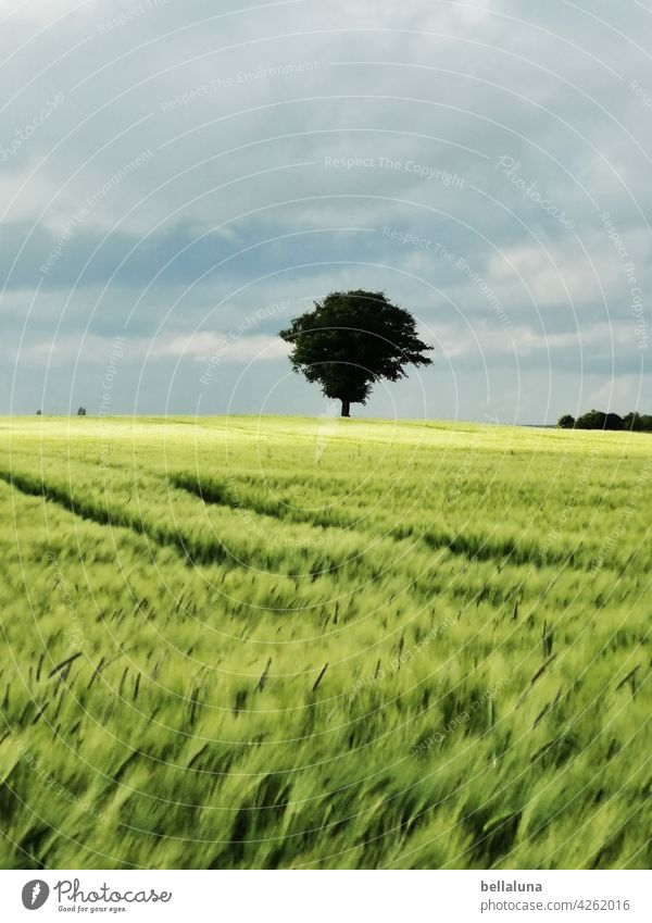 A tree in the cornfield, it's always free, because it's summer.... Tree Nature Sky Landscape Field Deserted Green Beautiful weather Summer Plant Grain