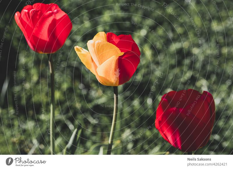 Beautiful two colored tulip in garden. Pink red yellow green colored tulips in the garden. Green background with flora flower in nature. Colorful tulips flowers blooming in spring garden.