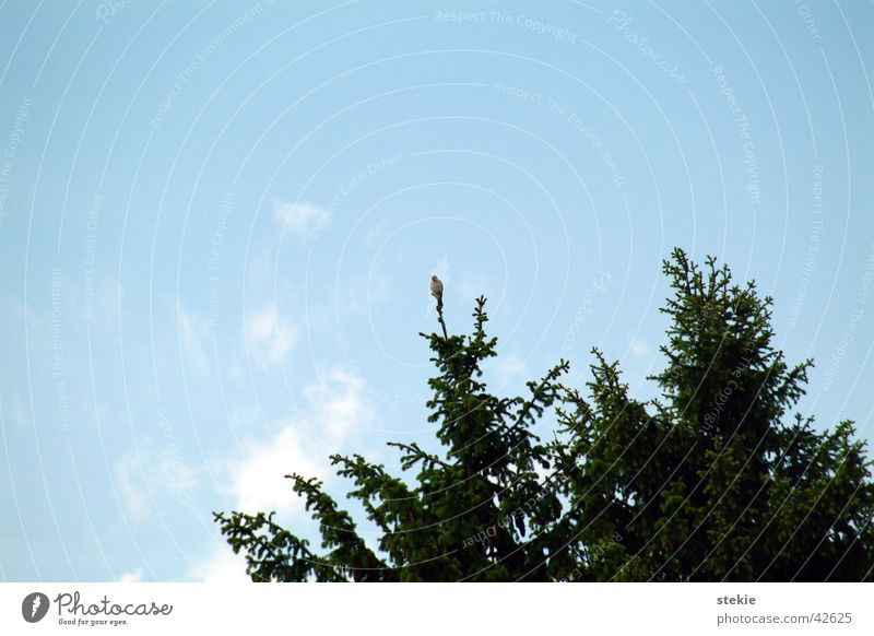 Sky Small Flying Tall Observe Fir tree Pride