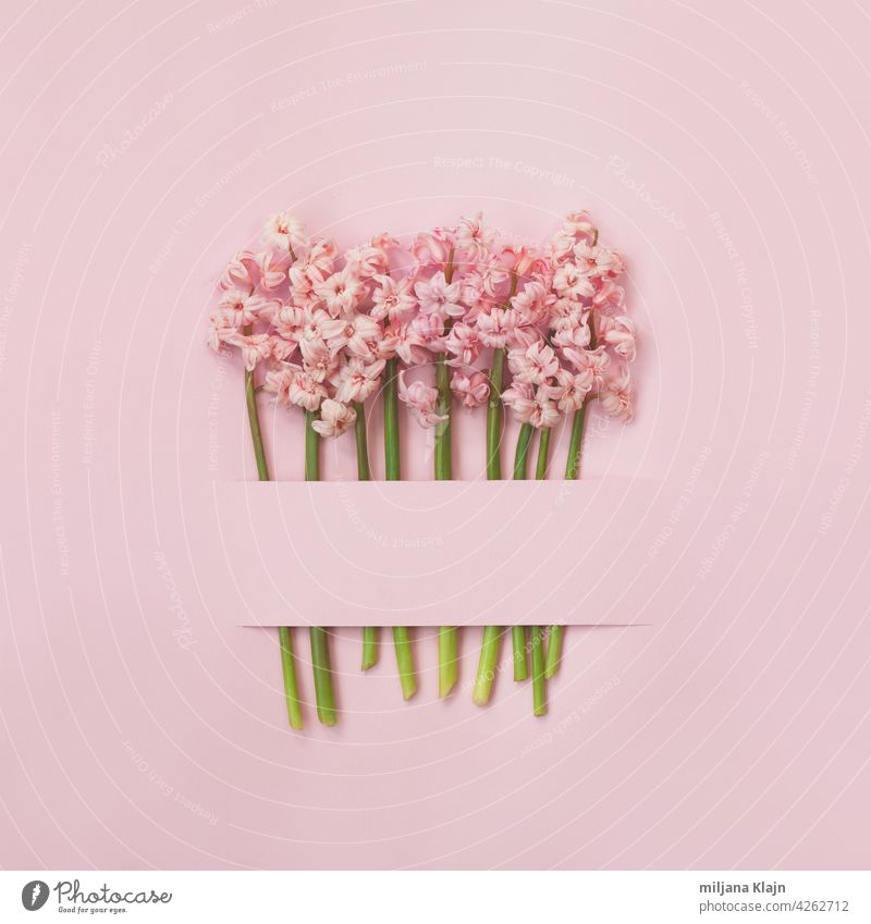 Pink hyacinth flowers on pink background; spring flowers minimal background with copy space Anniversary Banner Birthday Blank heyday Bouquet Card celebration