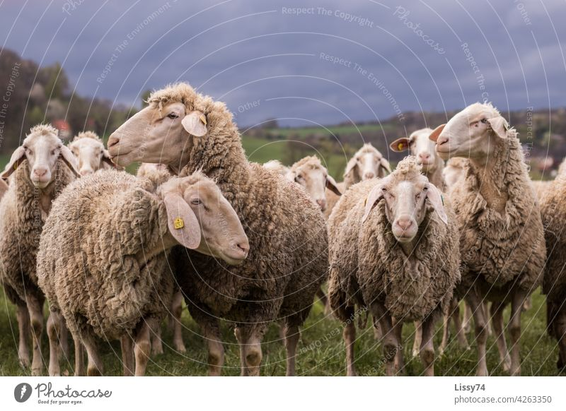 Sheep standing on pasture Flock sheep Nature animals Herd Meadow Group of animals Wool sheep's wool Colour photo Exterior shot idyllically Farm animals