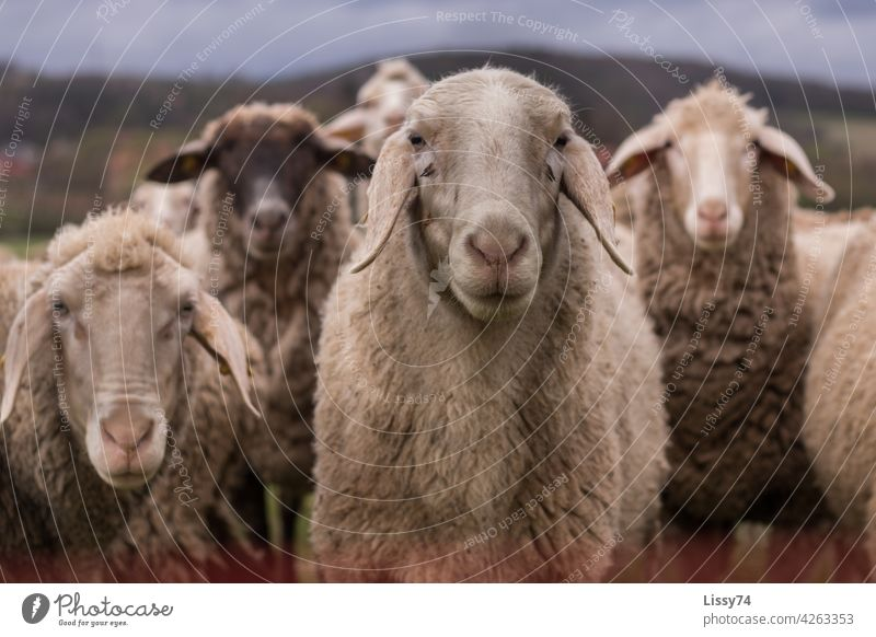 4 sheep standing side by side in the pasture Flock Nature animals Herd Meadow Group of animals Wool sheep's wool Colour photo Exterior shot idyllically