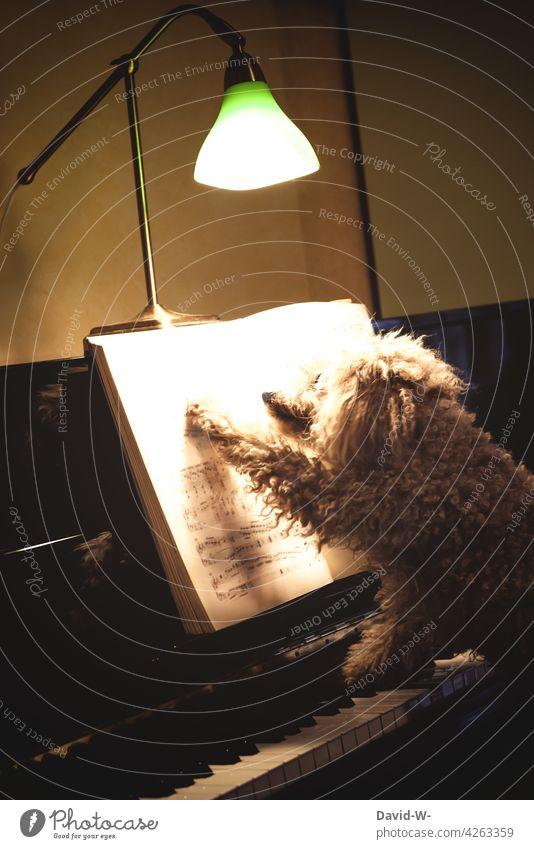 a dog named... animal musical Animalistic Funny Dog Piano Play piano wittily Music Make music tool