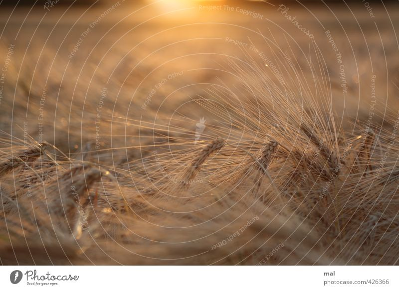 have the ear - hordeum vulgare Nature Landscape Plant Sun Sunrise Sunset Summer Beautiful weather Warmth Agricultural crop Grain Barley Ear of corn Field